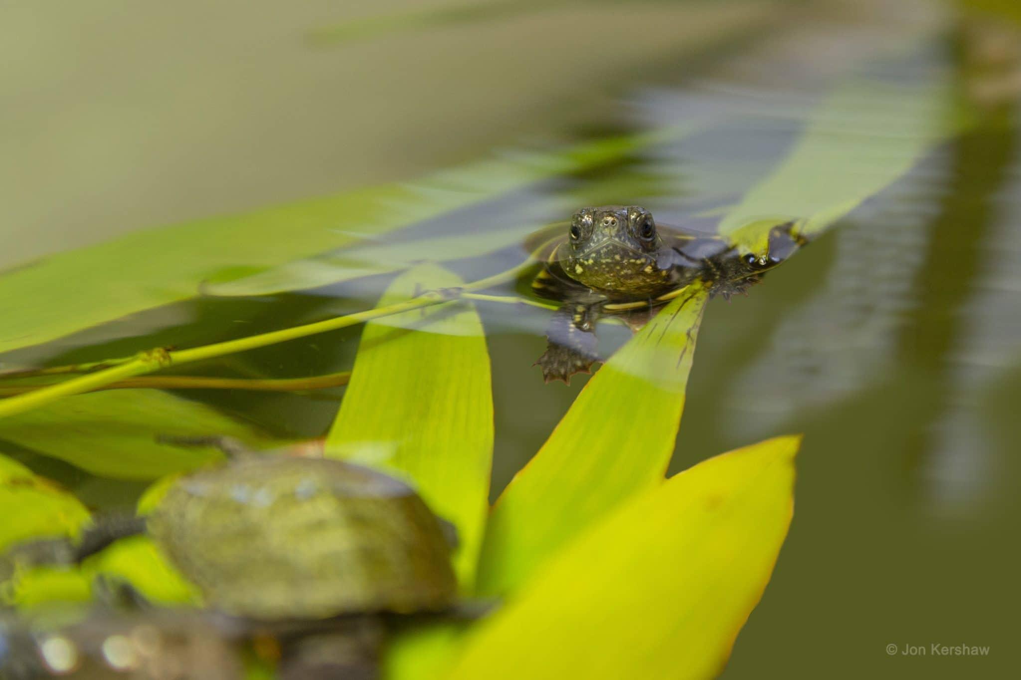 © Jon Kershaw - La tortue cistude d'Europe